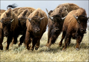 Als een kudde bisons in paniek rennen we samen alle kanten op, wispelturig en wild maar wel samen