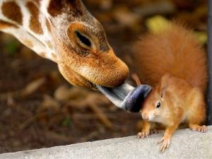 Radicale vriendschap: Is het ware liefde, die de giraf ertoe bracht de eekhoorn een liefdevol likje te geven?