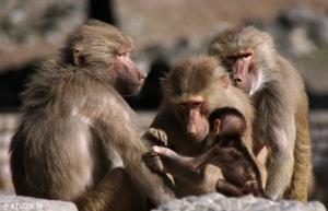 Apen leven ook in groepen