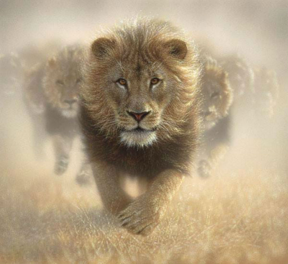 De leeuwen komen eraan